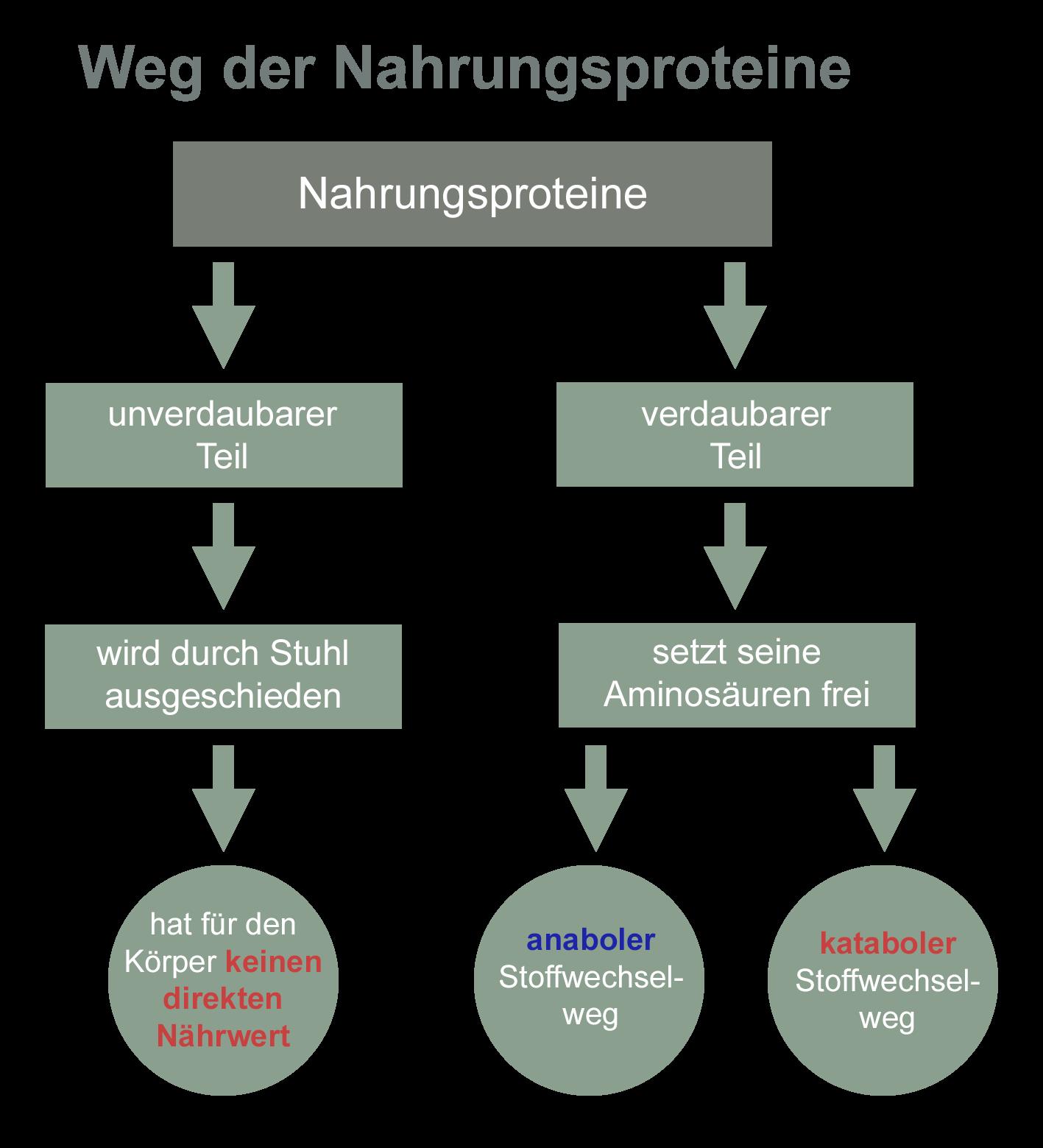 Weg der Nahrungsproteine